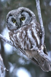 picture of a boreal owl sitting on a tree branch
