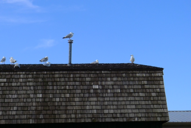 Herring gulls all in a row at harbor in Grand-Marais