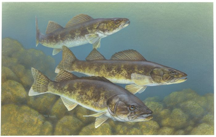 Walleye painting by Timothy Knepp.
