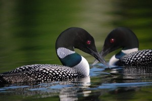 Picture of two loons floating face-to-face in the water