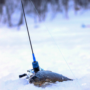 Picture of fish laying on the ice after it has been caught