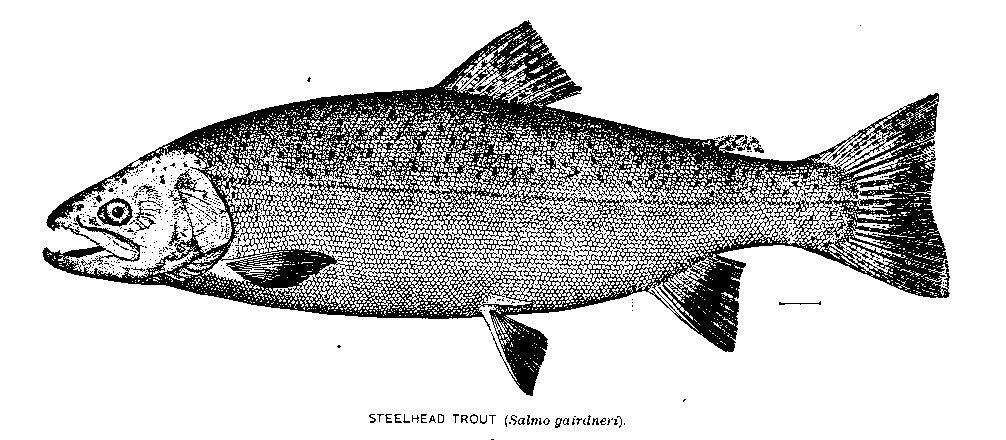 Drawing of a steelhead fish
