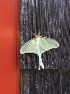 Picture of a luna moth