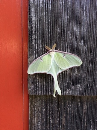 Luna Moth In Grand Marais