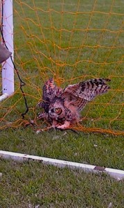 Picture of an owl caught in a soccer net