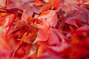 Picture of red maple leaves