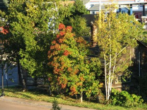Picture of trees in Grand Marais. One of the trees is starting to turn read