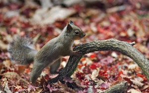 Picture of a squirrel resting on a tree branch among autumn leaves