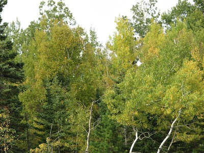Picture of a variety of autumn trees on Pincushion Mountain in Grand Marais