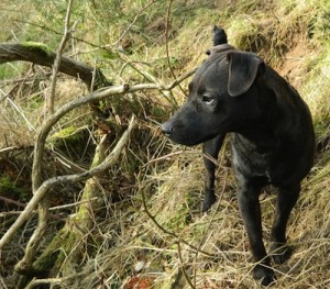 picture of a patter dale terrier hunting in the woods