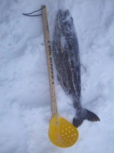 Picture of a recently caught trout laying in the snow next to a measuring stick to show how big it is.