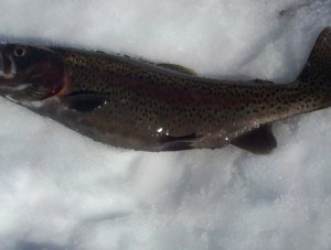 Picture of a recently caught trout laying on the snow