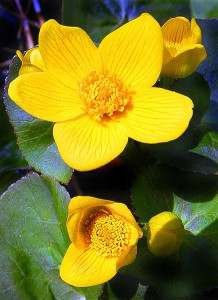 Picture of bright yellow marsh marigolds