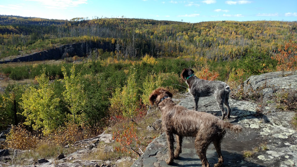 Picture of dogs looking at the hills in Grand Marais in fall