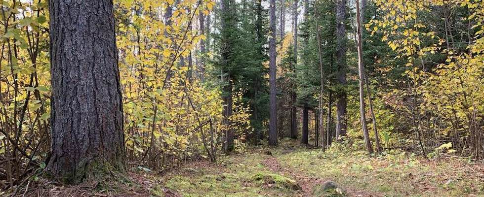 Picture of the North Shore woods of Minnesota with golden leaves on the trees and fir in the background